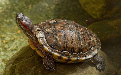6 reasons you should NOT keep a pet turtle