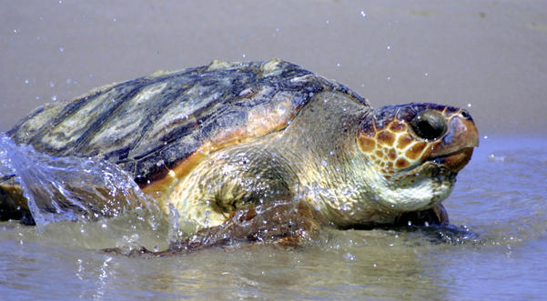 Why do sea turtles return to the beach that they were hatched from?