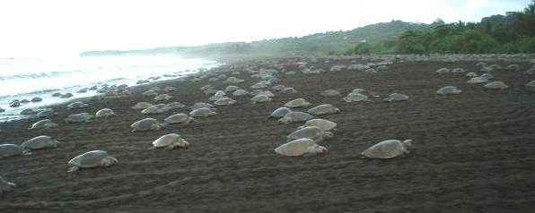 "A typical ""arribada."" Image credited to www.seaturtle.org."