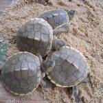 River terrapin hatchlings