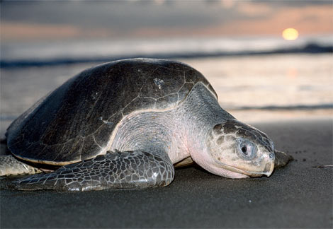 Olive ridley turtle, from an internet source.