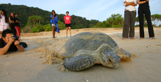 Is there any volunteer program at the Ma' Daerah Turtle Sanctuary? I would like to visit the Ma' Daerah Turtle Sanctuary one day, how should I go about it?