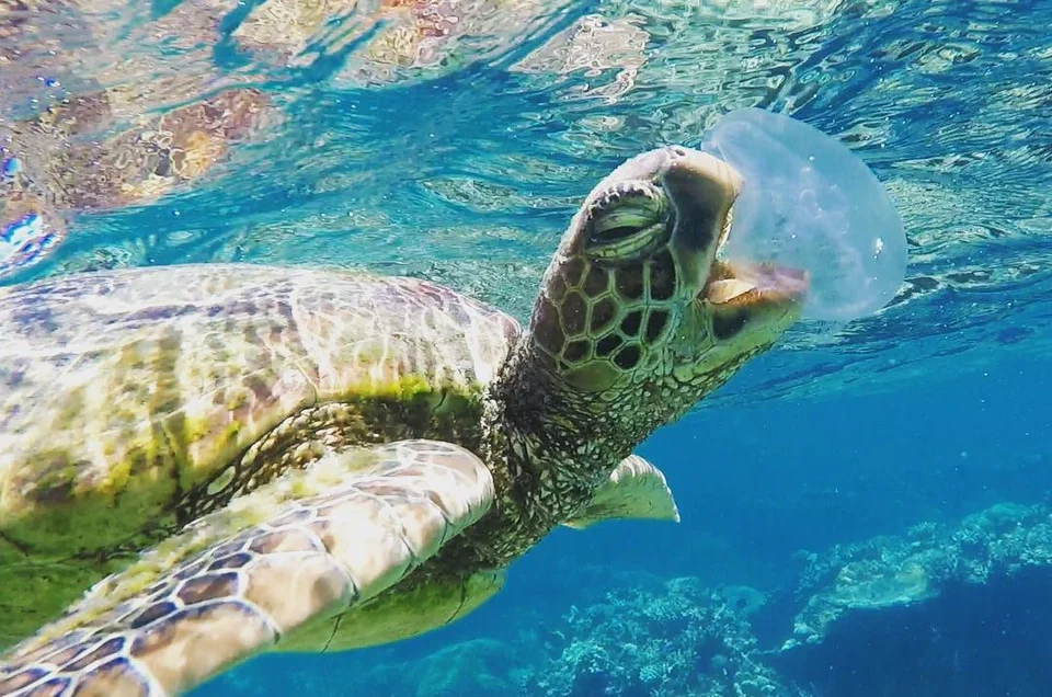 How do sea turtles eat jellyfish without getting stung?