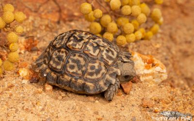 Which is the smallest turtle in the world?