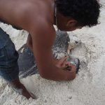 Tagging a sea turtle