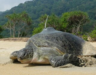 Tell us about the turtle conservation projects carried out by WWF-Malaysia