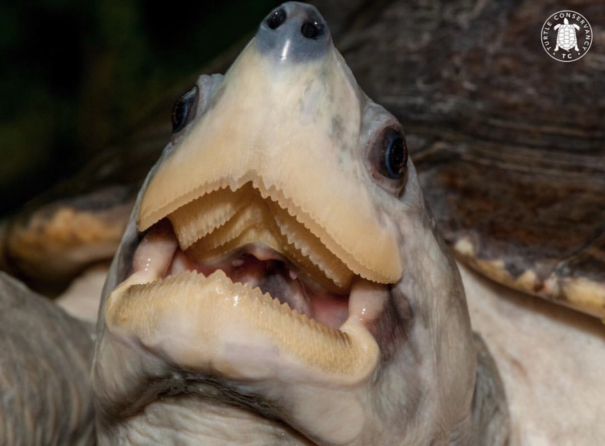 A turtle's serrated jaws